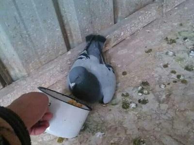 知道感恩 让人感动的鸽子