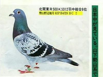 欣赏:日本势山鸽系