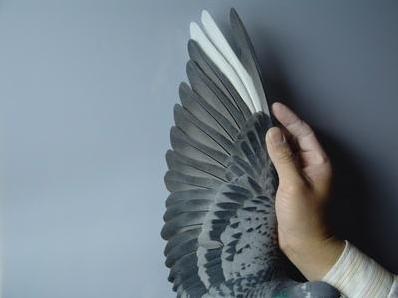 幼鸽自然换羽注意事项