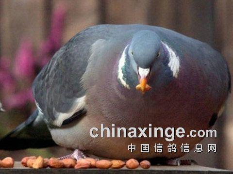 冬季种赛鸽日常管理注意事项