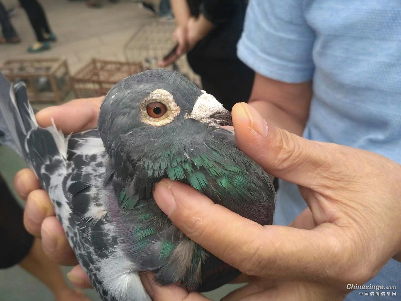 育翔才是检验赛鸽的唯一标准