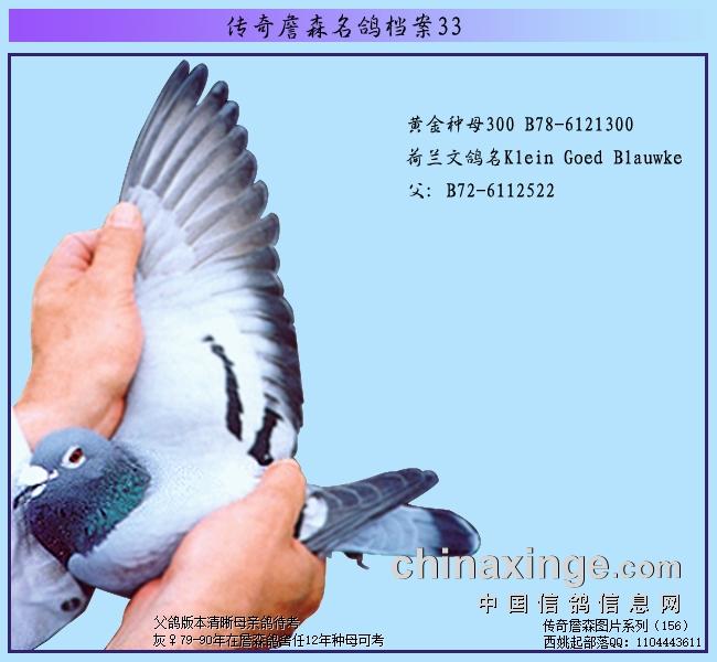 传奇詹森名鸽档案:詹森鸽翅膀中的秘密